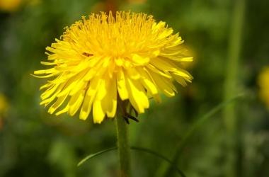Одуванчик: чем полезен солнечный цветок для здоровья