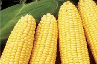 Уникальные омолаживающие свойства кукурузного масла