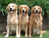 Собачий патруль: смотри, что вытворяют 12 ретриверов