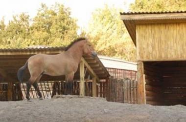 Жеребенок Пржевальского родился в киевском зоопарке (фото)