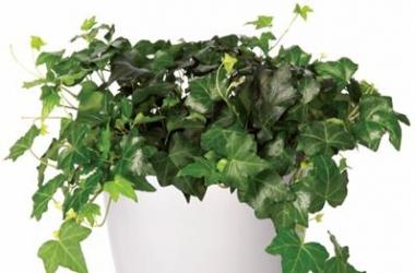 Самые неприхотливые комнатные растения (ФОТО)