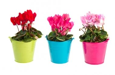 Летом цветок цикламеном это растение