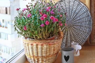 Комнатная хризантема: уход