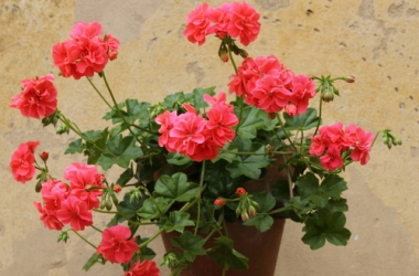 Домашние растения и медицина: герань поможет быстро выздороветь
