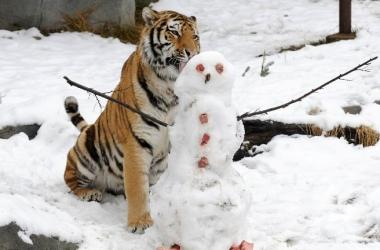Умилительные фото: тигр играет со снеговиком