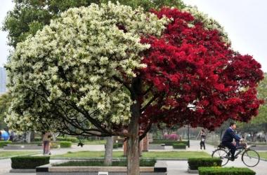 Удивительное двухцветное дерево расцвело в Китае (фото)