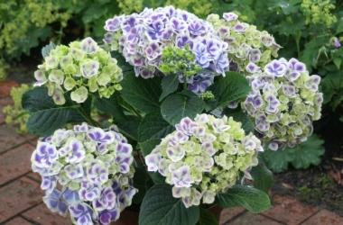 Гортензия: уход за самым гостеприимным растением