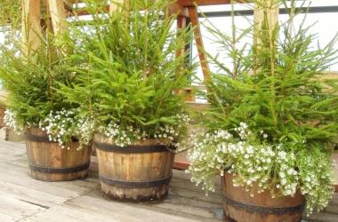 Елка в горшочке: как самой вырастить новогоднее дерево