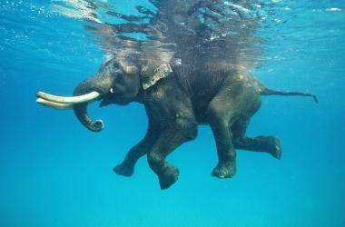 Невероятные кадры: последний плавающий слон (фото)