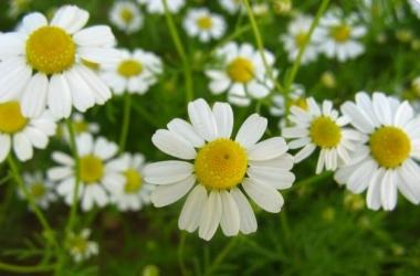Детокс на карпатских травах: польза ромашки, мелиссы, васильков и крапивы