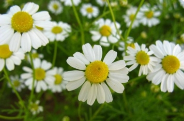 Лечебные травы: советы народной медицины