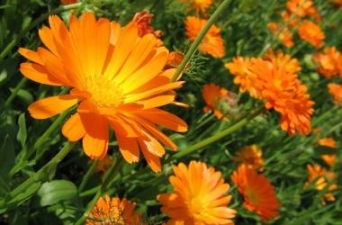 Съедобные цветы: как и с чем их едят