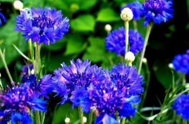 Синий василек: рецепты для красивой кожи