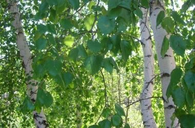 Лечебные свойства березы: как использовать березовый сок, почки, листья и  кору