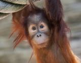 Сенсационный результат эксперимента: обезьяна оказалась умнее человека