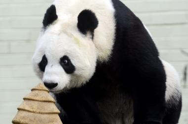 Мама панда укладывает спать сына: трогательное видео очаровало сеть (видео)